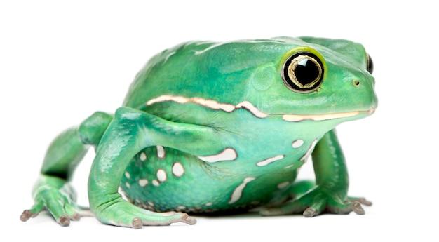 Woskowa liść małpy żaba phyllomedusa sauvagii przed białym tłem