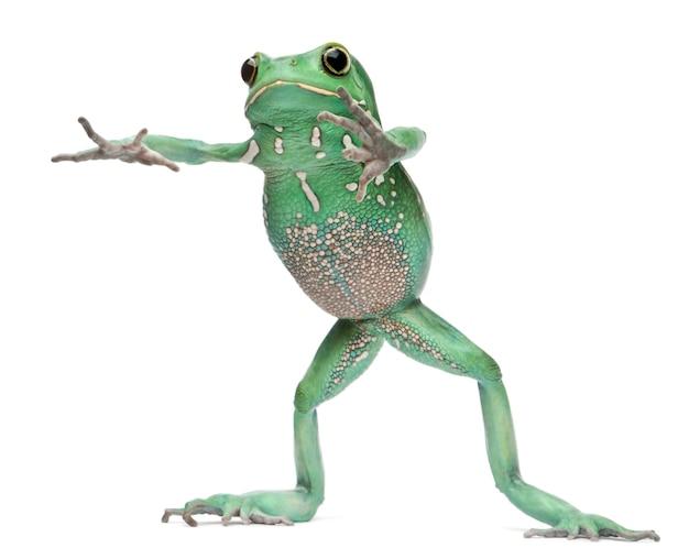 Woskowa małpiego liścia żaba phyllomedusa sauvagii stoi przed białym tłem