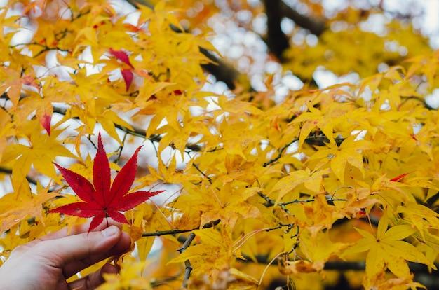 Wręcza mieniu czerwonego liść klonowy na żółtym klonowym drzewie w jesień sezonie japonia.