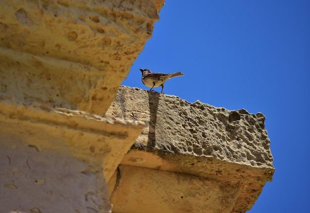 Wróbel męski spoczywa na wapiennej ścianie.