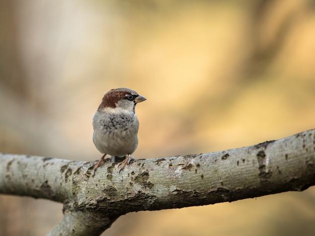 Wróbel, passer domesticus, siedzący na gałęzi