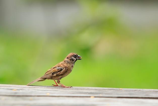 Wróbel ptak jedzenie niełuskanego nasion w rachunku
