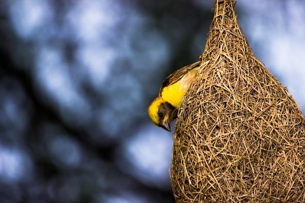 Wróbel żółtobrewy stojący mocno na swoim gnieździe pod drzewem w swoim naturalnym środowisku