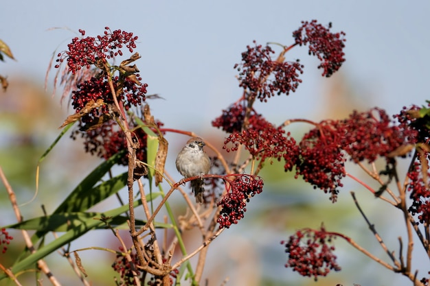 Wróbel zwyczajny (passer montanus) siedzi na gałęzi otoczonej dojrzałymi jagodami czarnego bzu europejskiego