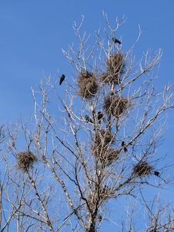 Wrona gniazduje na drzewie w mieście.