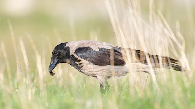 Wrona kapturowa stojąca na trawie z owadem w dziobie