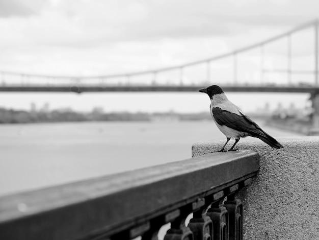 Wrona na tle mostu w pochmurny dzień kijów ukraina