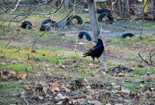 Wrona na ziemi w parku miejskim