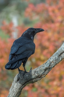 Wrona siedząca na gałęzi