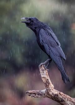 Wrona w deszczu i zimnie zimowego poranka