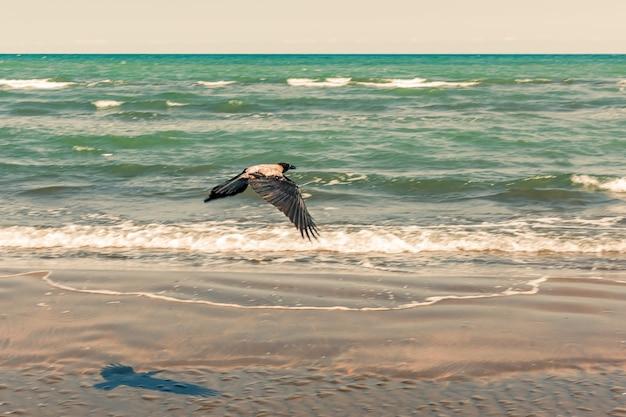 Wrona w locie nad morzem