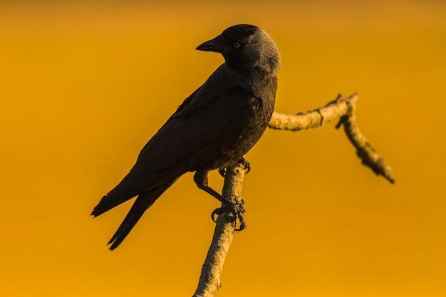 Wrony (corvus corax) wiosną w montgai, lleida, katalonia, hiszpania. europa