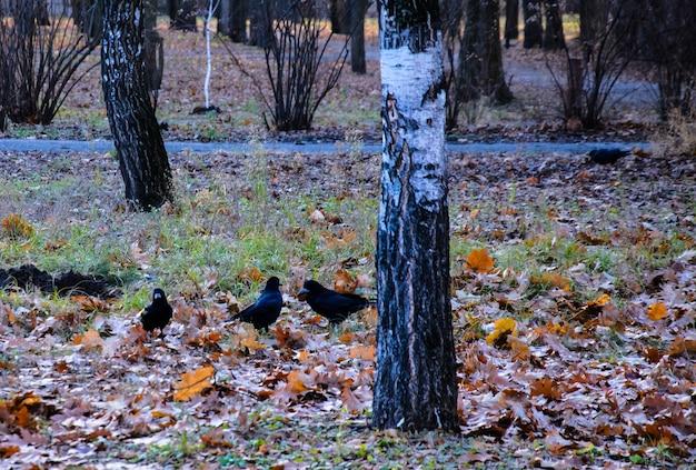 Wrony na ziemi w parku miejskim
