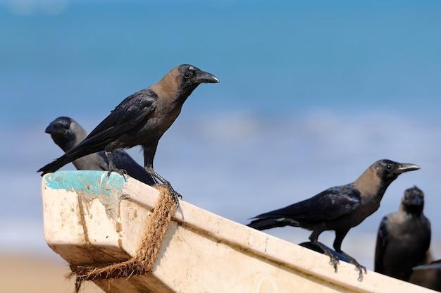 Wrony siedzą na łodzi rybackiej. sri lanka