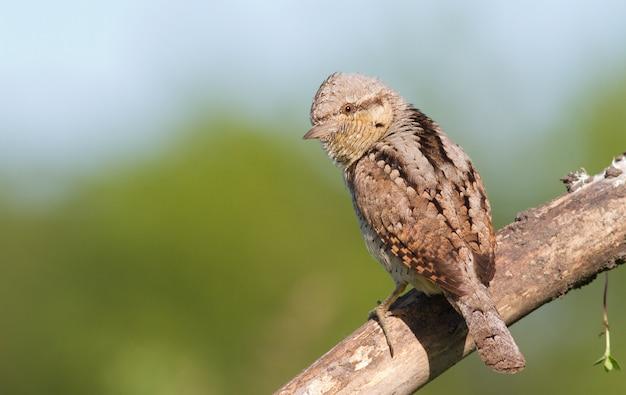 Wryneck zwyczajny siedzi na grubej starej suchej gałęzi