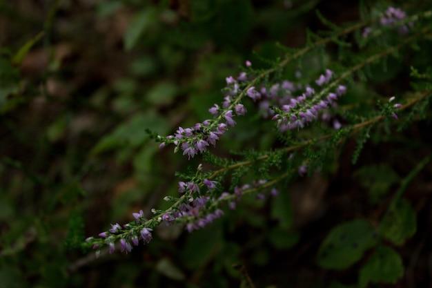 Wrzos rośliny leśne fioletowe kwiaty leśne