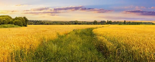 Wschód słońca nad polem pszenicy. trawiasta droga w polu pszenicy. uprawa pszenicy