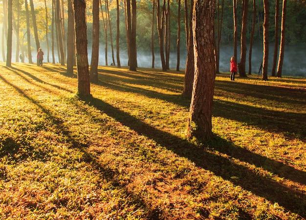 Wschód słońca przy ssanie w żołądku, sosnowego lasu park, mae hong son, północ tajlandii, redaguje ciepły dźwięk