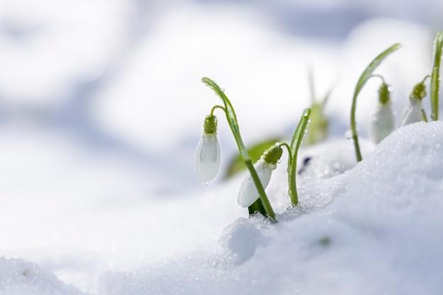 Wschód słońca zachód słońca na białych, delikatnych przebiśniegach pokrytych śniegiem w wiosennym lesie
