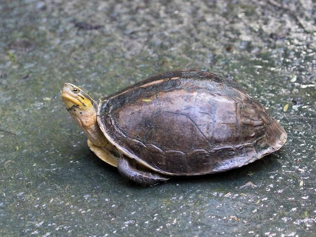 Wschodni żółw z kurczaka w tajlandii
