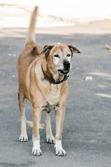 Wściekły, agresywny, niebezpieczny pies pokazuje zęby do ochrony w domu