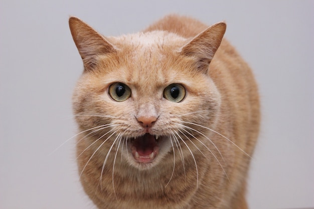 Wściekły czerwony kot z otwartymi ustami pokazującymi zęby i patrzący prosto w kamerę. niebezpieczny zwierzak. wścieklizna u zwierząt.