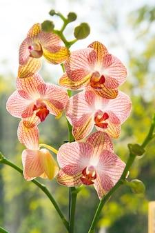 Wskazówki dotyczące uprawy storczyków. jak dbać o storczyki w pomieszczeniach. najczęściej uprawiane rośliny domowe. storczyki kwitną z bliska. kwiat orchidei różowy i żółty kwiat. storczyk phalaenopsis. koncepcja kwiatowy.