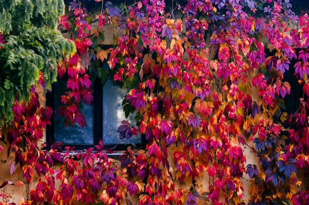Wspaniała przytulna ściana domu pokryta kolorowym bluszczem