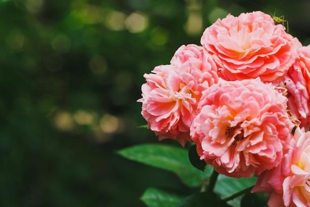 Wspaniała romantyczna piękna różowa hybrydowa róża herbaciana kwitnąca w letnim tle róży