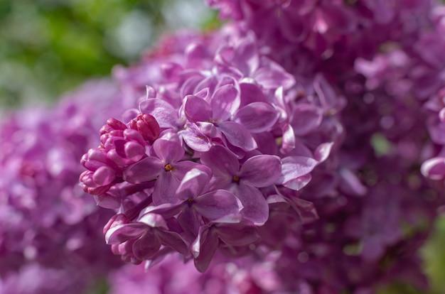 Wspaniała świeża wiązka fioletowego bzu na krzaku. krzew ogrodowy, kwitnące wiosną, świeży aromat. selektywne nieostrość, płytka głębia ostrości.
