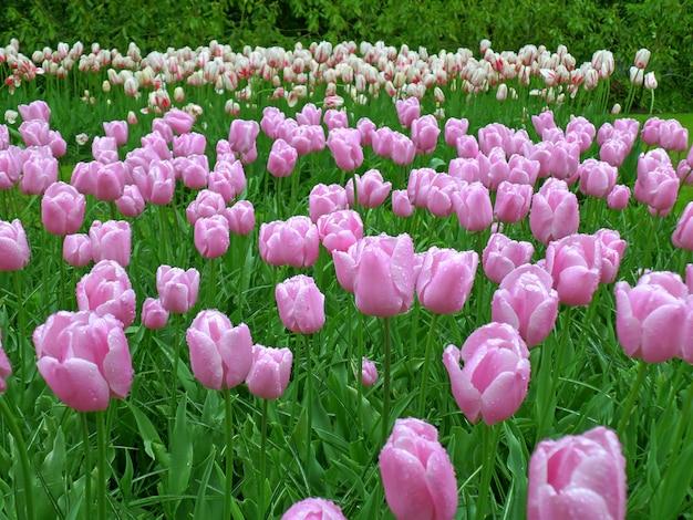 Wspaniałe fioletowe tulipany w ogrodzie keukenhof po wiosennej prysznicu, holandia