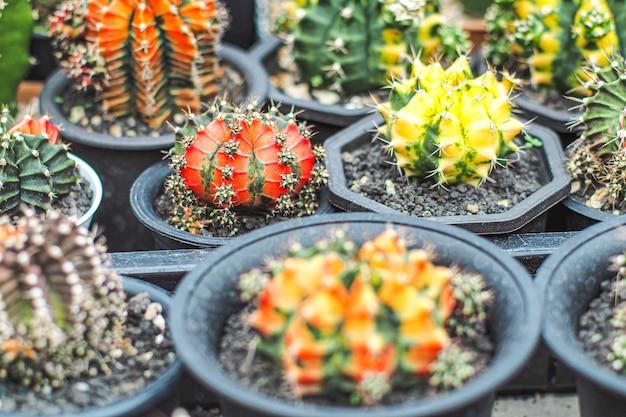 Wspaniałe kolorowe kaktusy.
