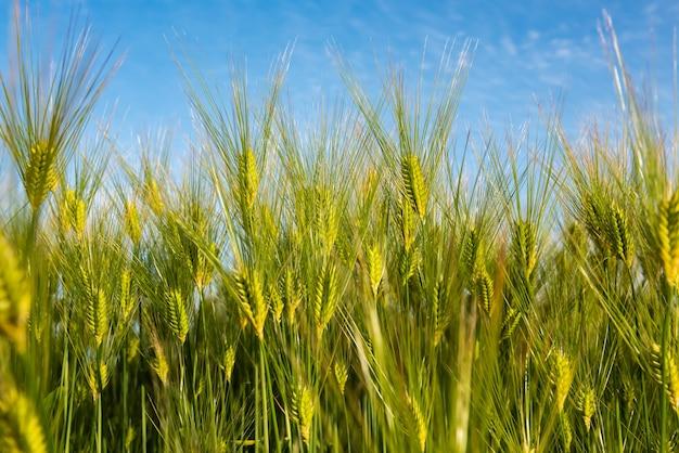 Wspaniałe młode kłosy pszenicy zielone złote kolce błękitne niebo rozmazane na tle