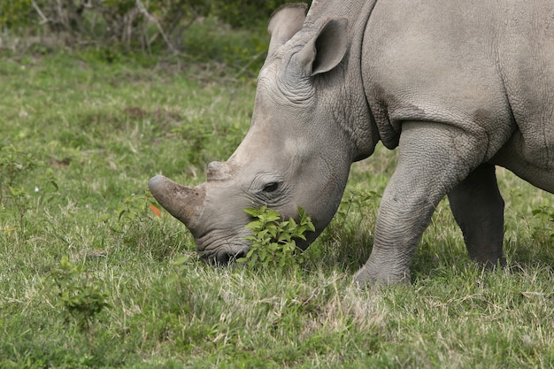 Wspaniałe nosorożce pasące się na trawiastych polach w lesie