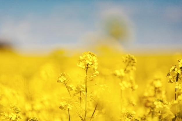 Wspaniałe piękne żółte kwiaty rzepaku na tle niebieskiego nieba. rzepak. biopaliwa biodiesel. eco. ic hodowla. roślina oleista pole
