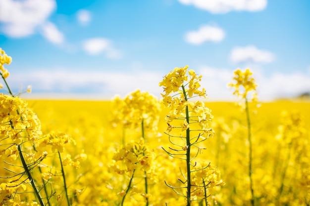 Wspaniałe piękne żółte kwiaty rzepaku