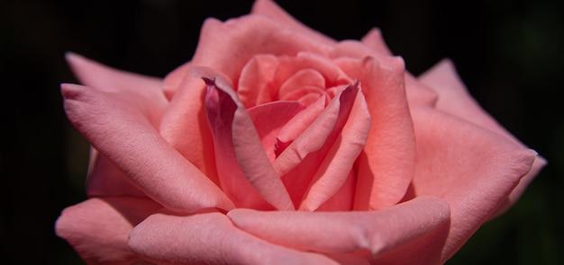 Wspaniałe róże nasłonecznione, naturalne światło, selektywne skupienie.