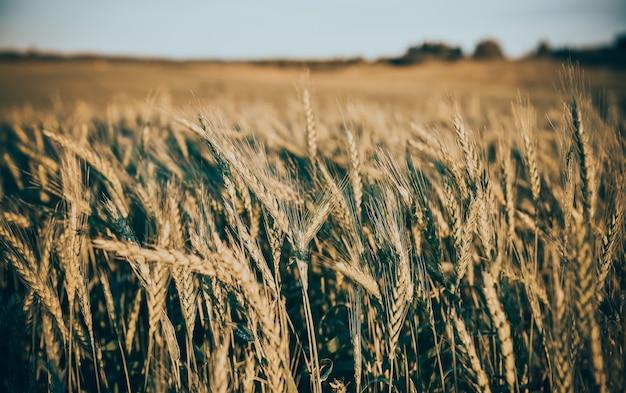 Wspaniałe ujęcie kłosów zboża na polu pszenicyheat