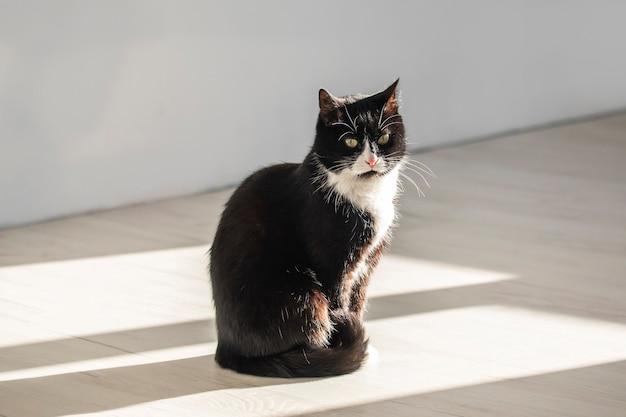 Wspaniały czarno-biały kot o smutnym spojrzeniu siedzi w promieniu słońca.