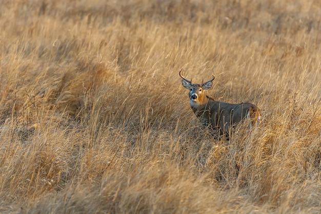 Wspaniały jeleń stojący na środku pola pokrytego trawą