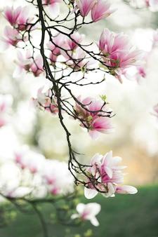 Wspaniały kwiat magnolii gałąź na wiosnę