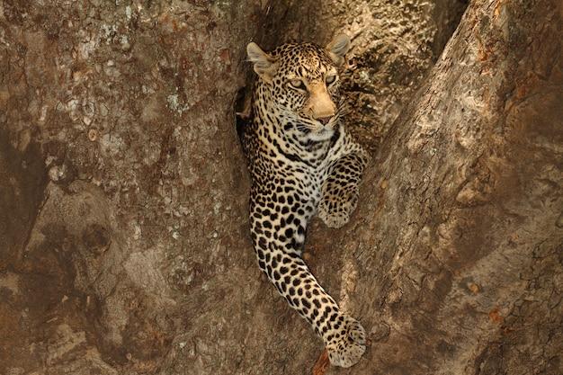 Wspaniały lampart afrykański leżący na gałęzi drzewa w afrykańskiej dżungli