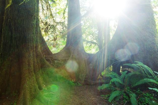 Wspaniały las deszczowy w olimpijskim parku narodowym, waszyngton, usa. drzewa pokryte grubą warstwą mchu.