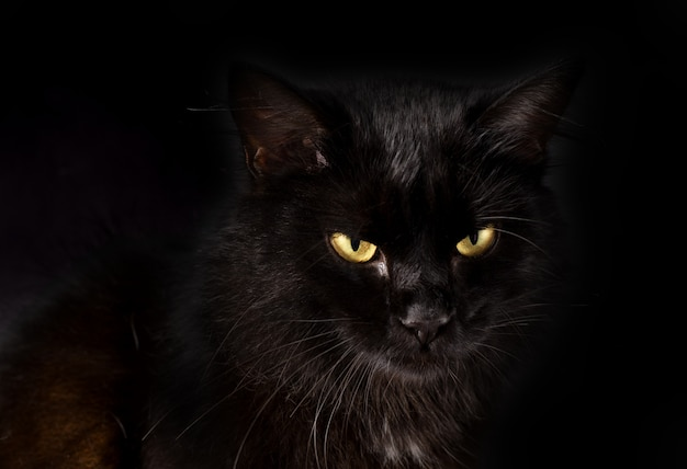 Wspaniały puszysty czarny kot o jasnożółtych oczach