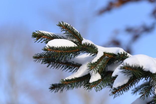 Wspaniały widok drzewa iglastego po zamieci śnieżnej