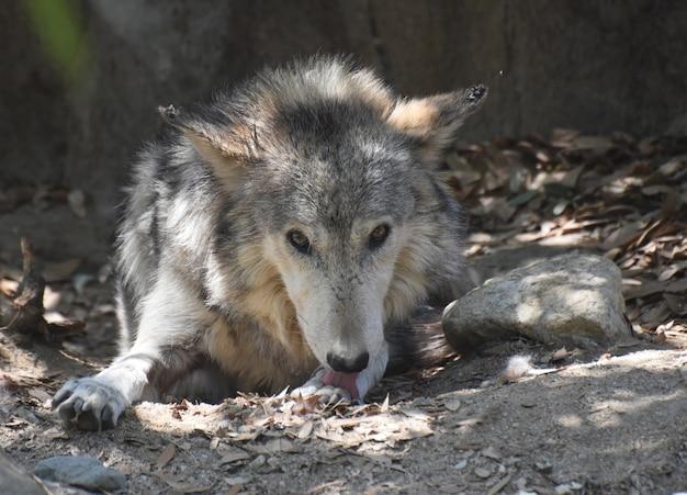 Wspaniały wilk z wystawionym językiem liżącym przednią łapę.