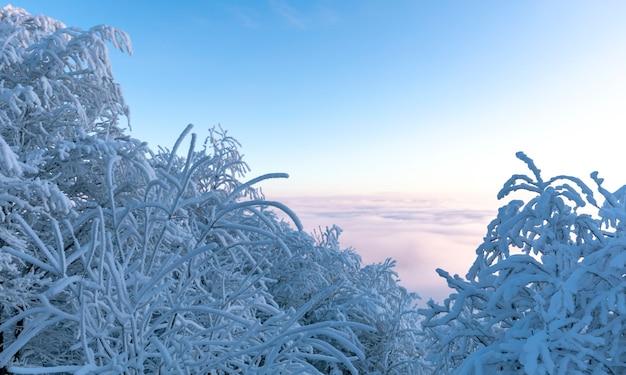 Wspaniały zimowy krajobraz górski. pokryte śniegiem drzewa o świcie. wielki szron na gałęziach drzew. pogarszająca się pogoda, silne mrozy.