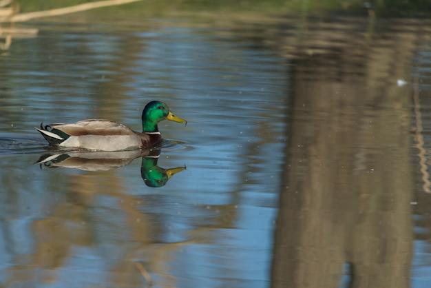 Wspólna kaczka pływająca spokojnie w małej lagunie