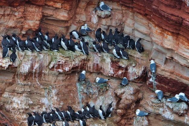 Wspólna kolonia murre - nurzawka zwyczajna na czerwonej skale na morzu północnym - helgoland - niemcy -uria aalge