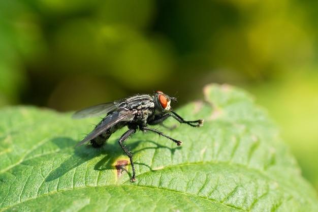 Wspólna mucha na zielonym źdźble trawy, makro. mały wspólny owad mucha domowa siedzący na zielonym źdźble trawy w słońcu, zdjęcie makro.